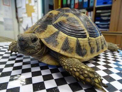Griechische Landschildkröte gefunden