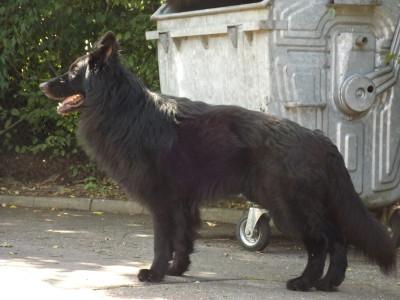 Altdt. Schäferhund in Linsenhofen zugelaufen