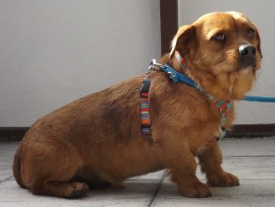 21.02.16 Kleiner Terrier in Wendlingen zugelaufen