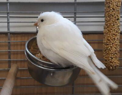 13.10.19 Kanarienvogel in Linsenhofen zugeflogen