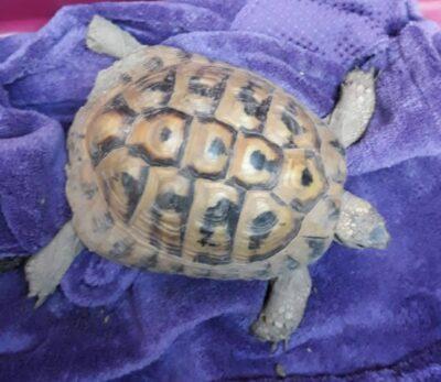 16.07.21 Landschildkröte in Linsenhofen aufgefunden